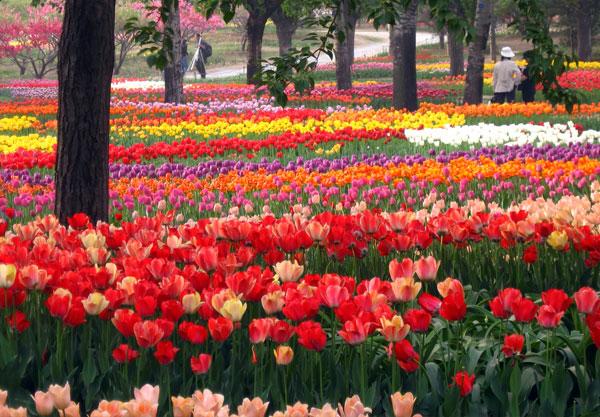 Beijing Botanical Gardens Peony